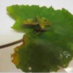 Viviparous Plant