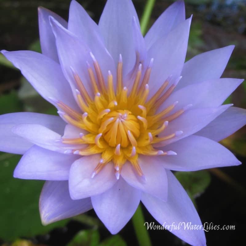 lily-angela