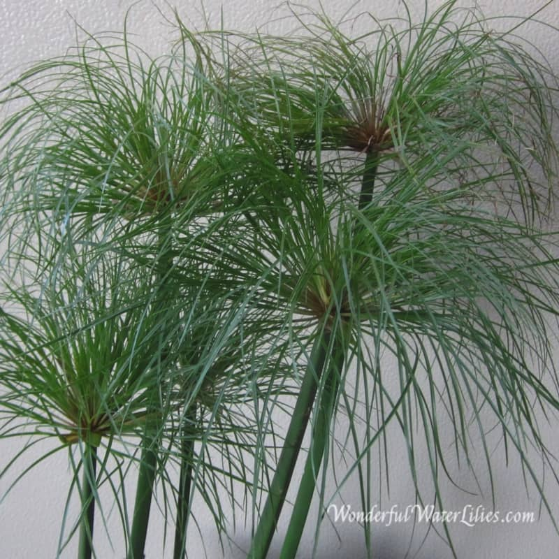 marginals-cyperus-percamenthes